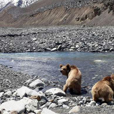 Bears reared in Chakwal Rescue Center released in Khunjerab National Park, Hunza