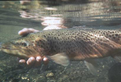 Trout Fish Farming in Gilgit