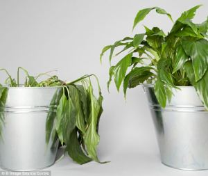 droopy house plant vs healthy plant