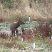 3 Elk Calves