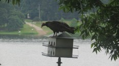 Turkey vulture on Martin house