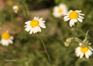 Chamomile in the garden