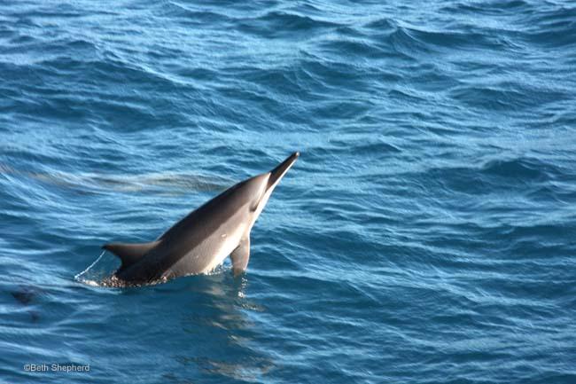 Kauai spinner dolphin