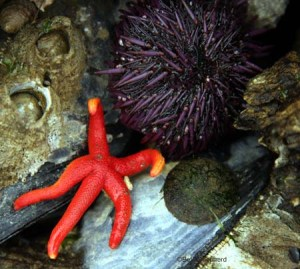 Blood star and urchin Salt Creek County Park