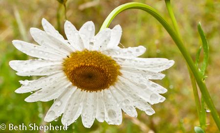 Daisy on a rainy day