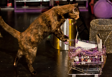 cat pushing shopping cart, Acro-cats