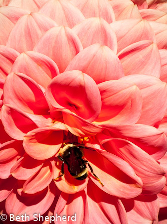 Dahlia petals, Volunteer Park Dahlia Garden