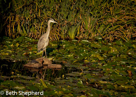 Heron on the pond