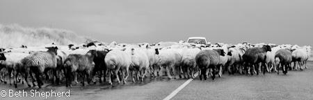 Gyumri Armenia sheep in the road