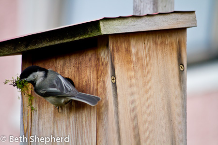 Chickadee nest building