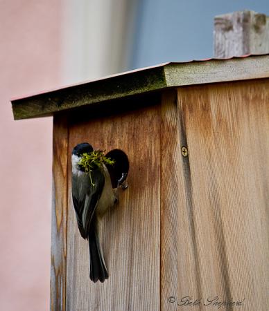 Chickadee bird's nest