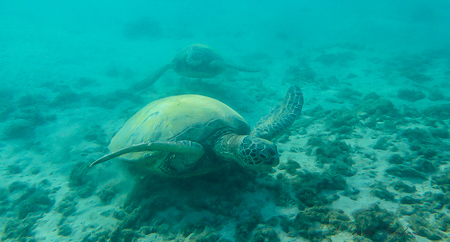 Honu turtle on Kauai