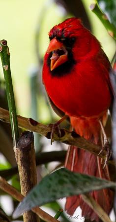 Talking Cardinal