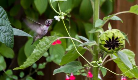 Hummingbird and scarlett runner beans