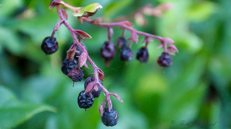 Purple berries at the Washington Park Arboretum