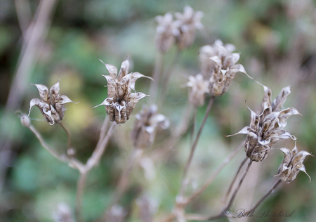 Dry seed pods