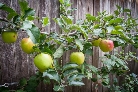 A is for apples on our espaliered trees