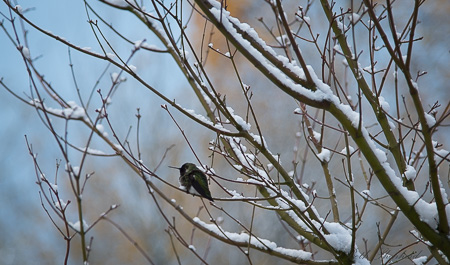Hummingbird on snowy branches