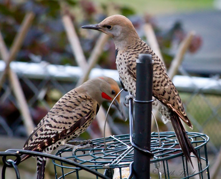 Flickers at the feeder
