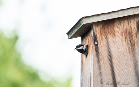Leaving the birdhouse for food