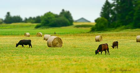 Angus cows