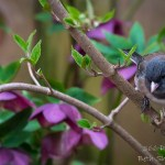 Junco on viburnum with hellebore
