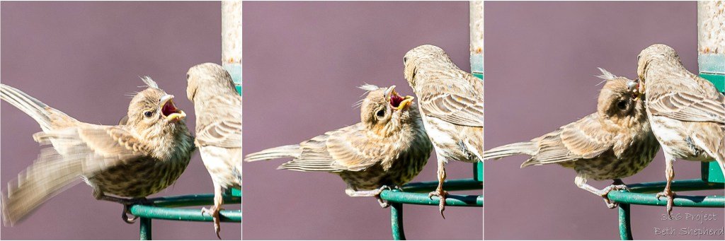 Parent finch feeding baby