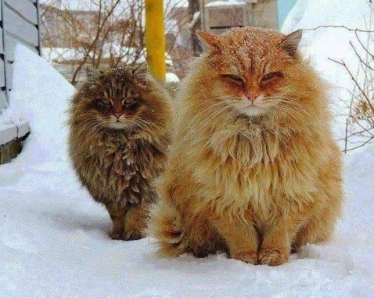 norwegian-forest-cats