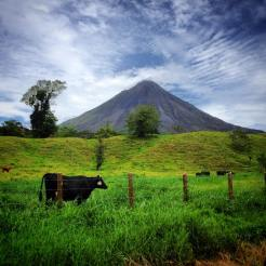 Vacas and volcanes (Arenal near La Fortuna)