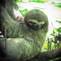 A giant tree sloth in his natural habitat (Manuel Antonio National Park, Quepos)