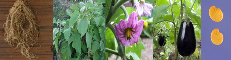 الوضف النباتي للباذنجان