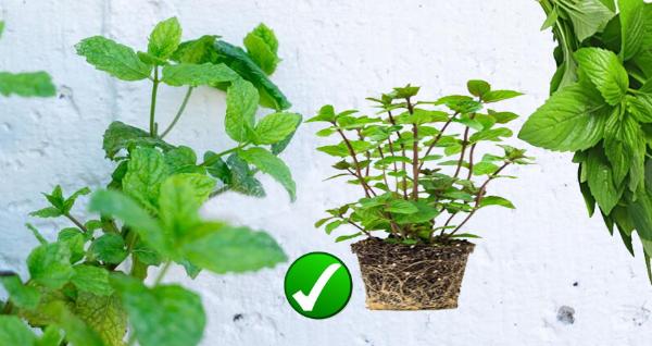 زراعة النعناع في المنزل
