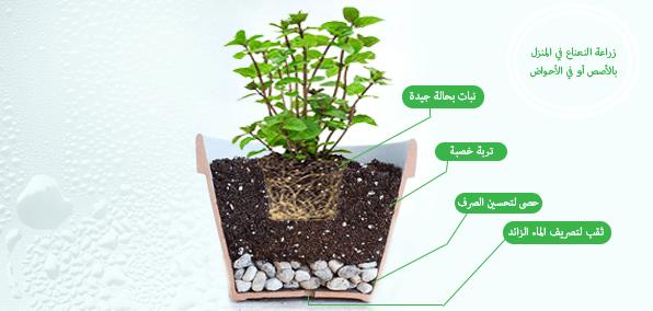 زراعة النعناع بالاصيص
