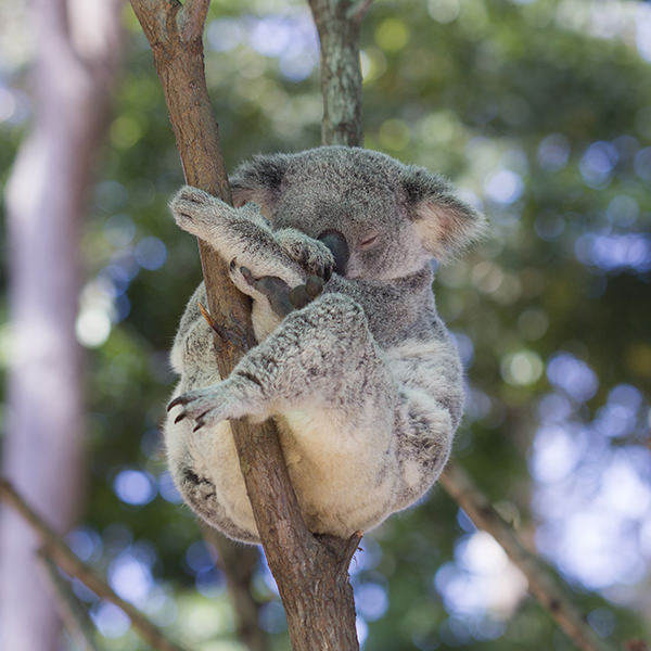 And a sleeping koala