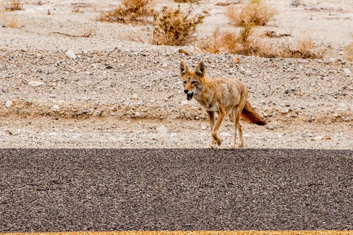 Coyote at Badwater Basin, Death Valley national Park