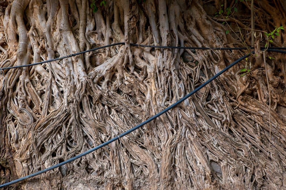 A wall of tree roots.