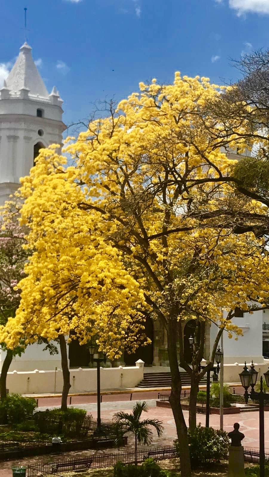 Hay varios guayacanes sembrados en la Plaza de la Independencia frente a la Catedral de Panamá