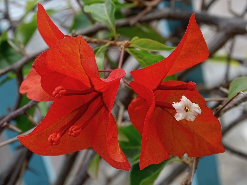 flor roja de buganvilla o veranera