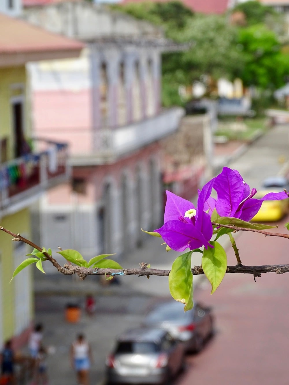bougainvilleas from the apartment of Flor de Lirio on calle 12 Casco Viejo