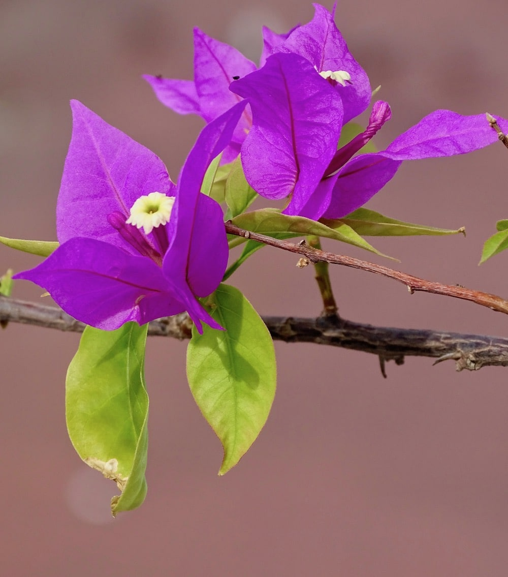flor morada de buganvilla o veranera