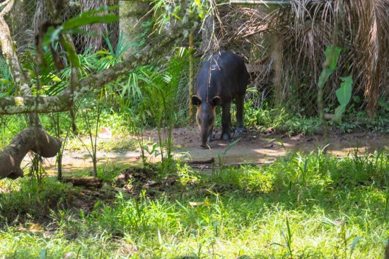 This guy is called a Tapir. It's an animal local to the jungles in Central and South America.