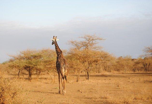 51.giraffe-safari-kenia