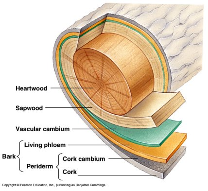 Image result for a trees trunk anatomy