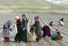 Cotton harvest in Uzbekistan