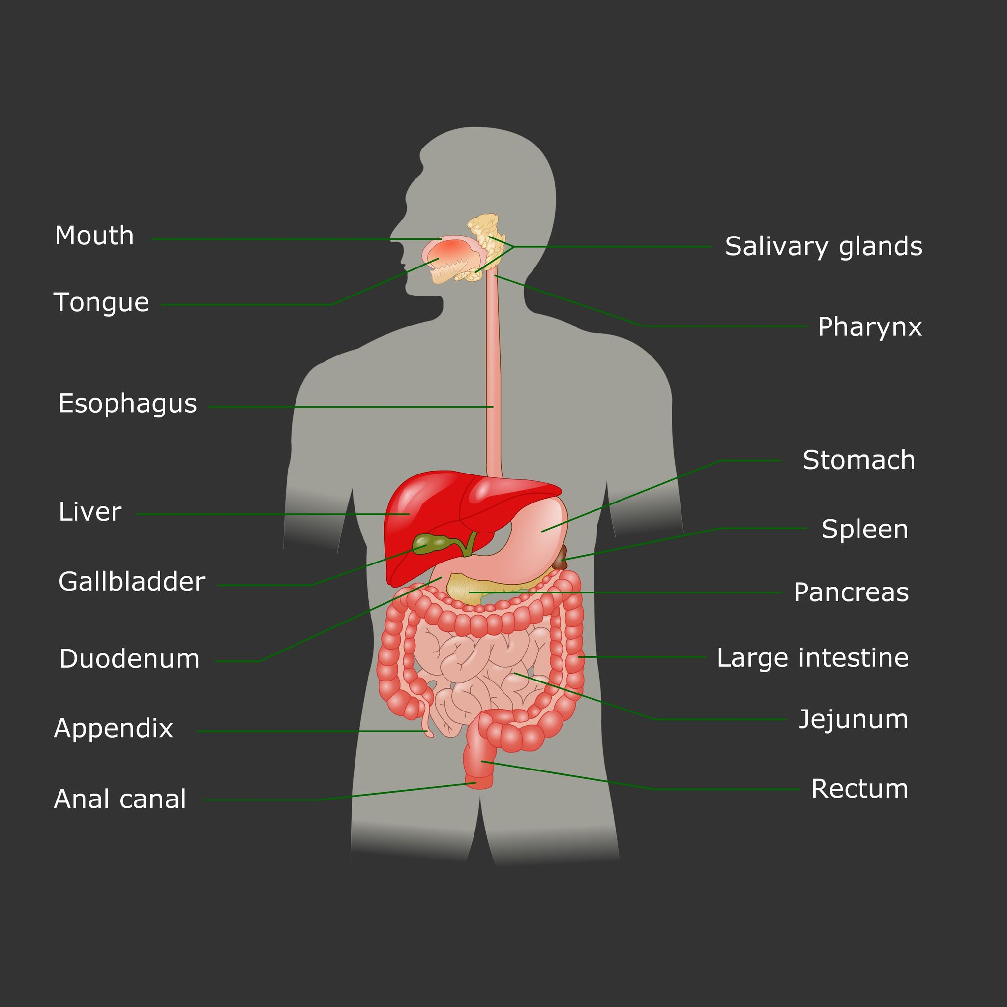 Human Endocrine System Function