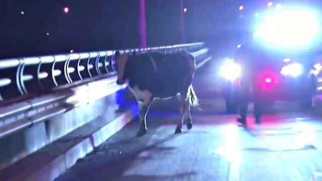 Vaca preñada huye del matadero y cambia su destino