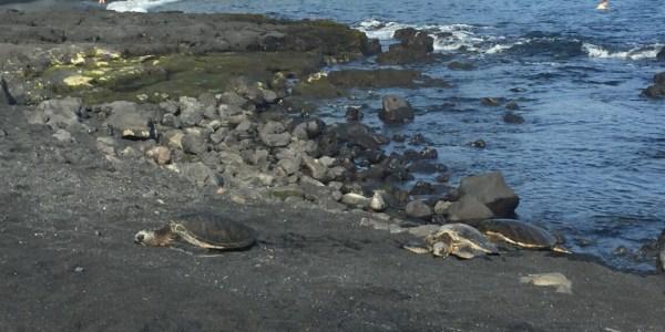 Turtles on black sand