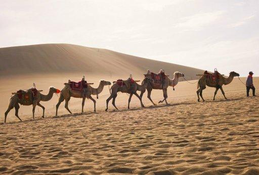 Histoire du thé: Caravane de chameau en direction de la Russie