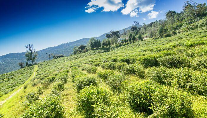 Sikkim-Temi-Tea-Garden