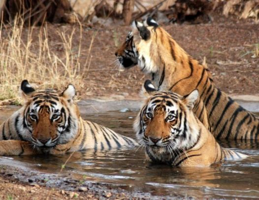 Golden Triangle Tour With Tiger Safari